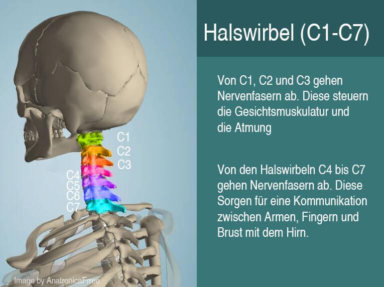 Halswirbel C1 bis C7